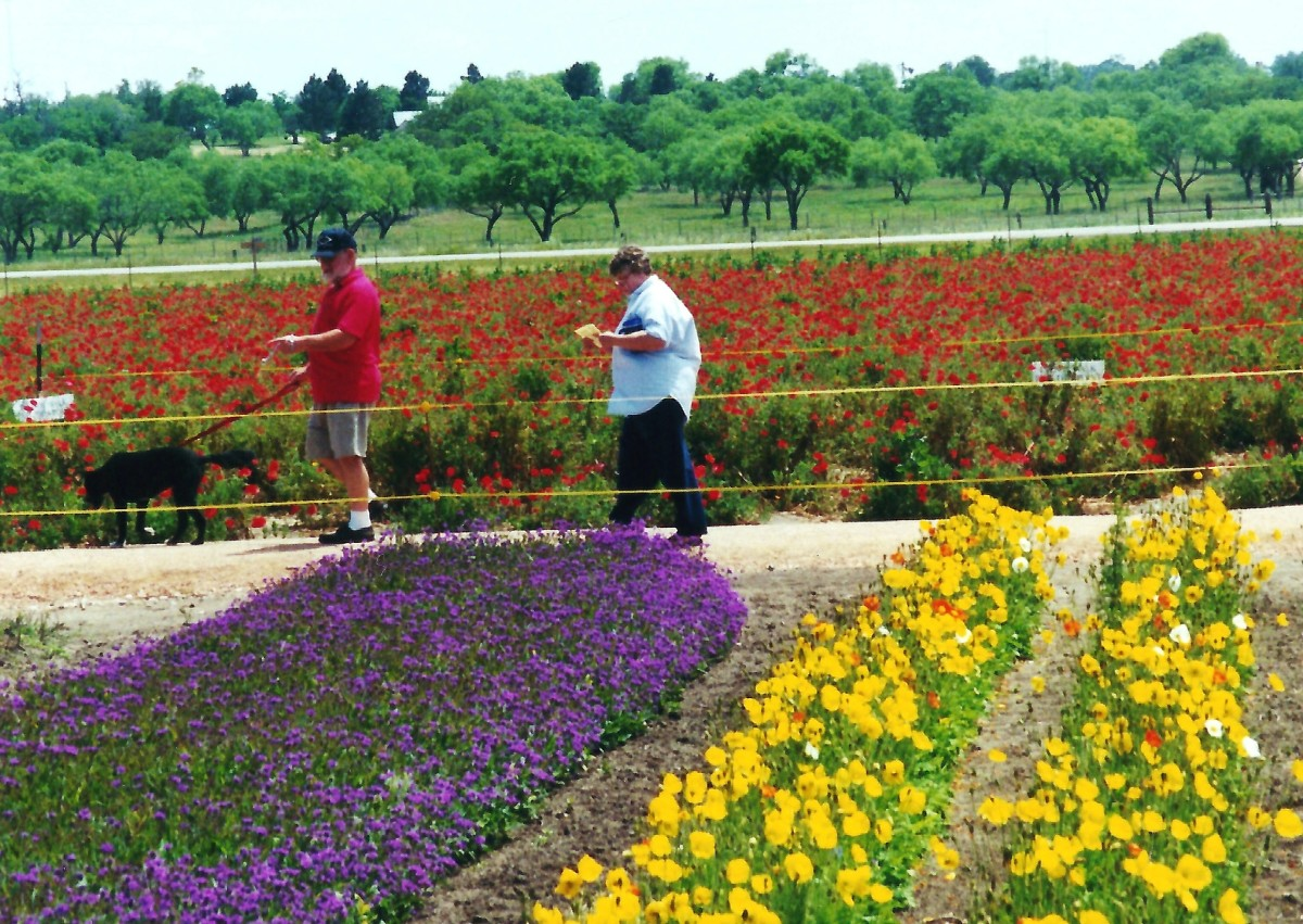 Colorful fields of wildflowers at Wildseed Farms.