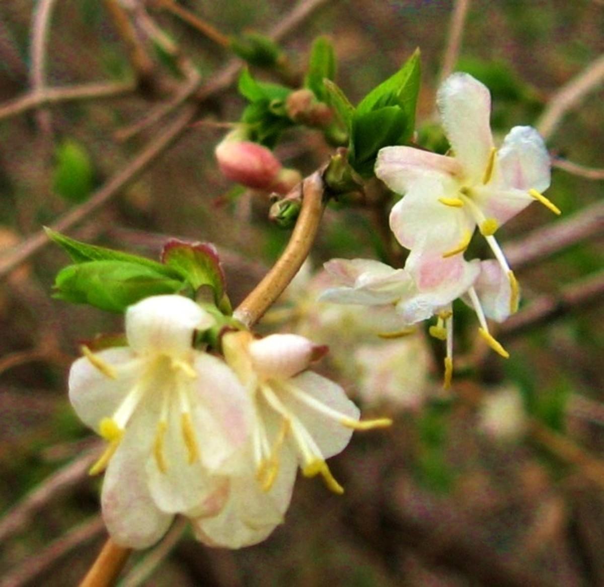 Fragrant winter honeysuckle in bloom.