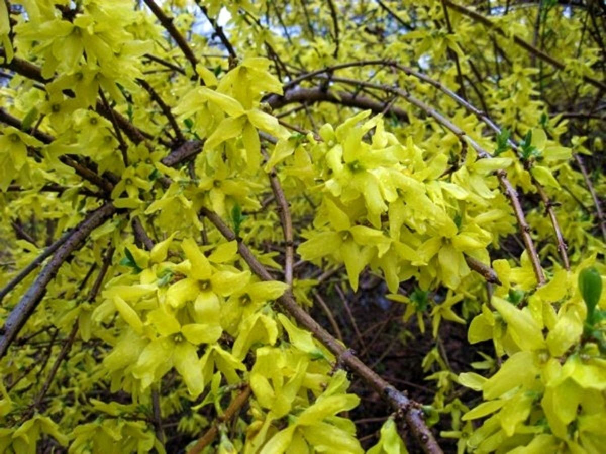 Bright yellow forsythia drapes over the roadside walls of Central Park's transverses.