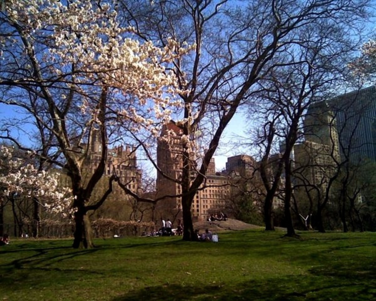 A magnolia tree blooms in Central Park.