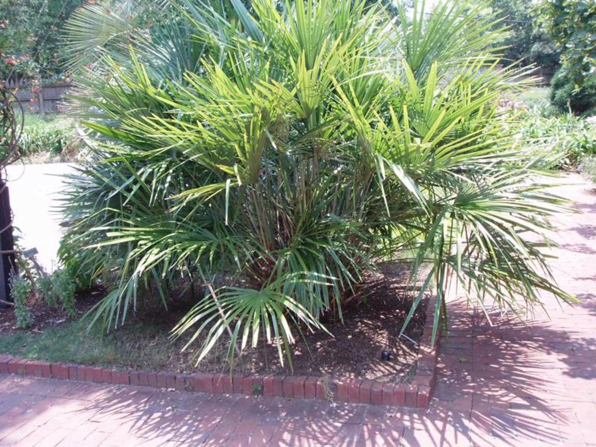 Oklahoma Palm Trees: The Needle Palm