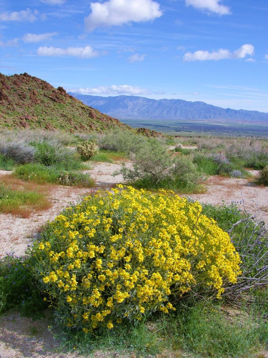 Desert brittlebush- Encelia farinosa