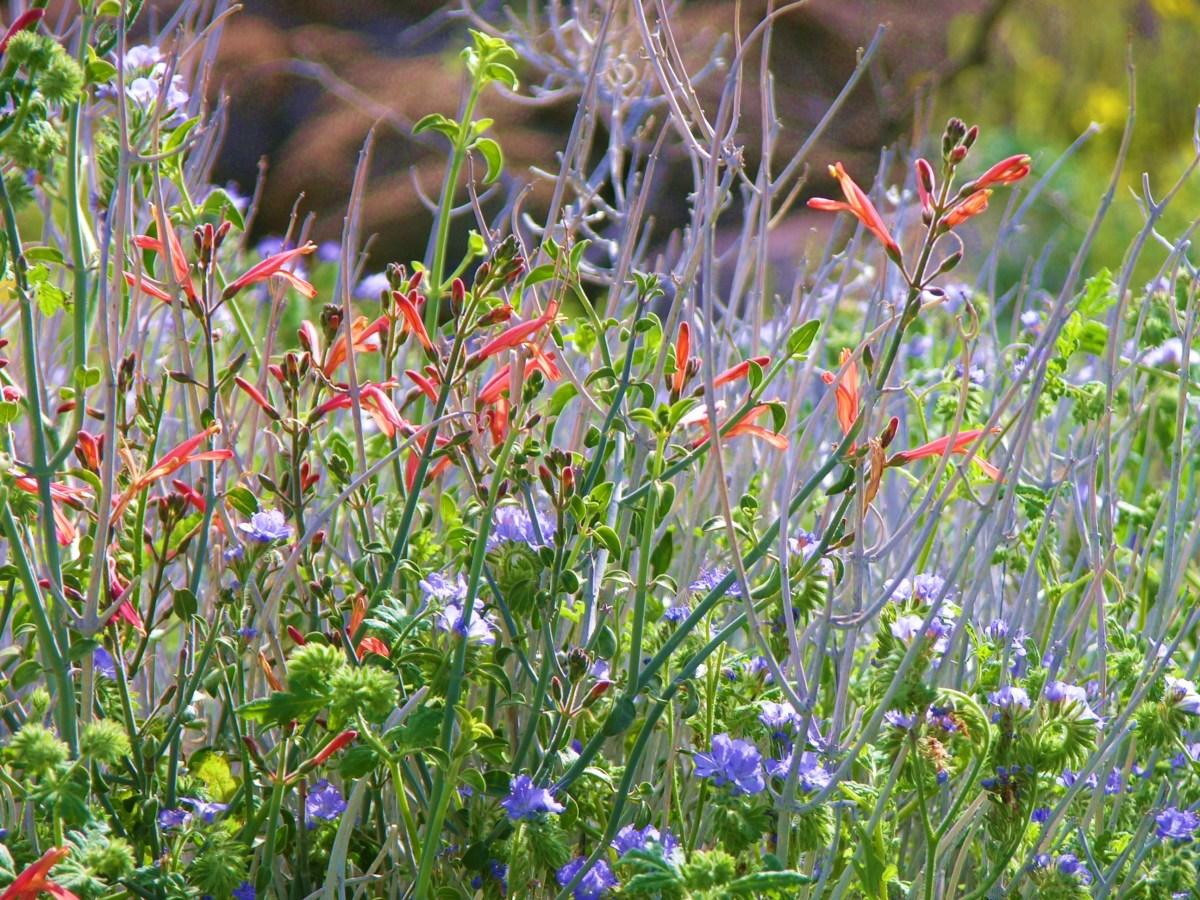 Desert wildflowers justicia californicum and phacelia tanacetifolia.