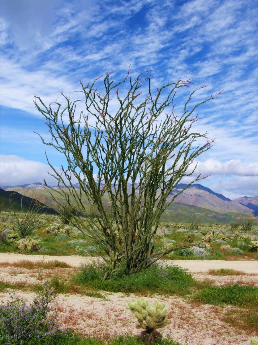 Ocotillo- Fouquieria splendens