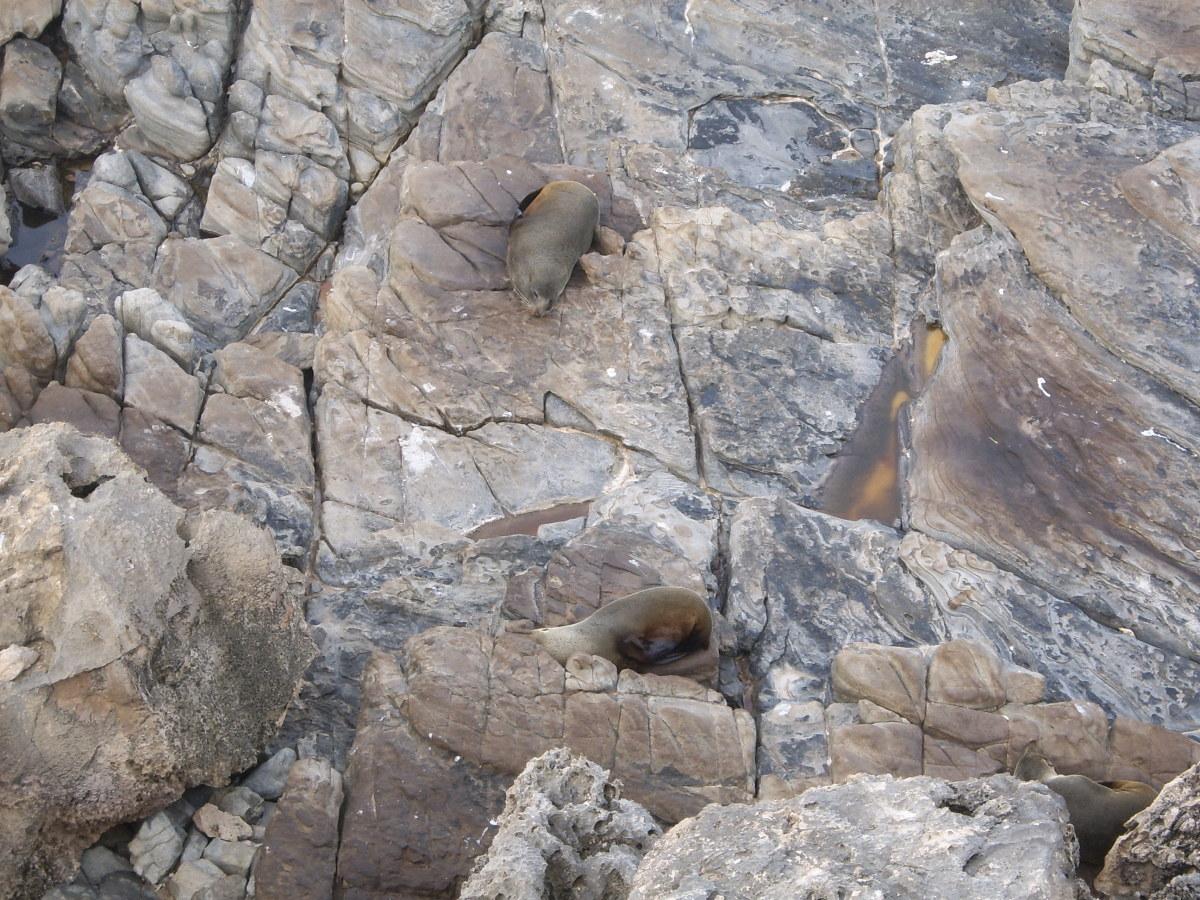 New Zealand Fur Seals on Kangaroo Island