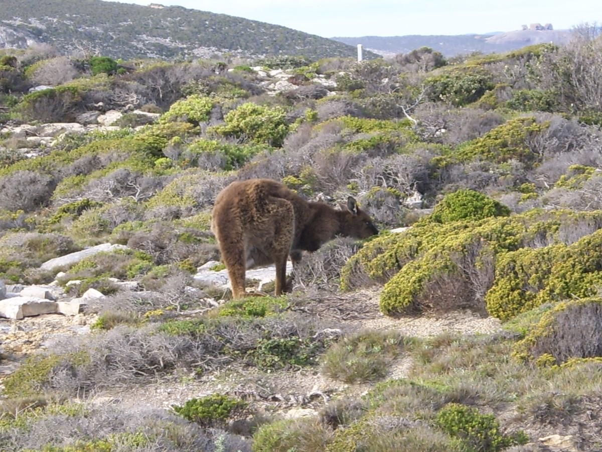 A Kangaroo of Kangaroo Island!