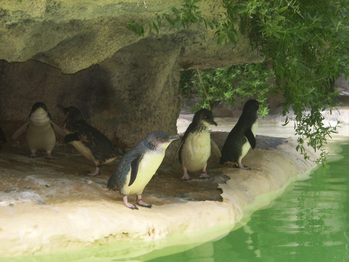 Fairy penguins at Perth Zoo
