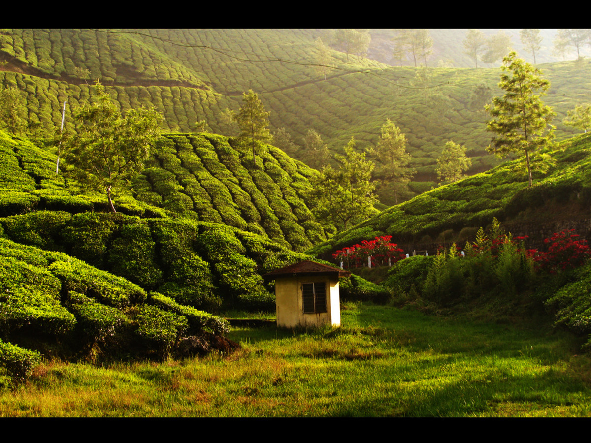 Tea estate in Munnar