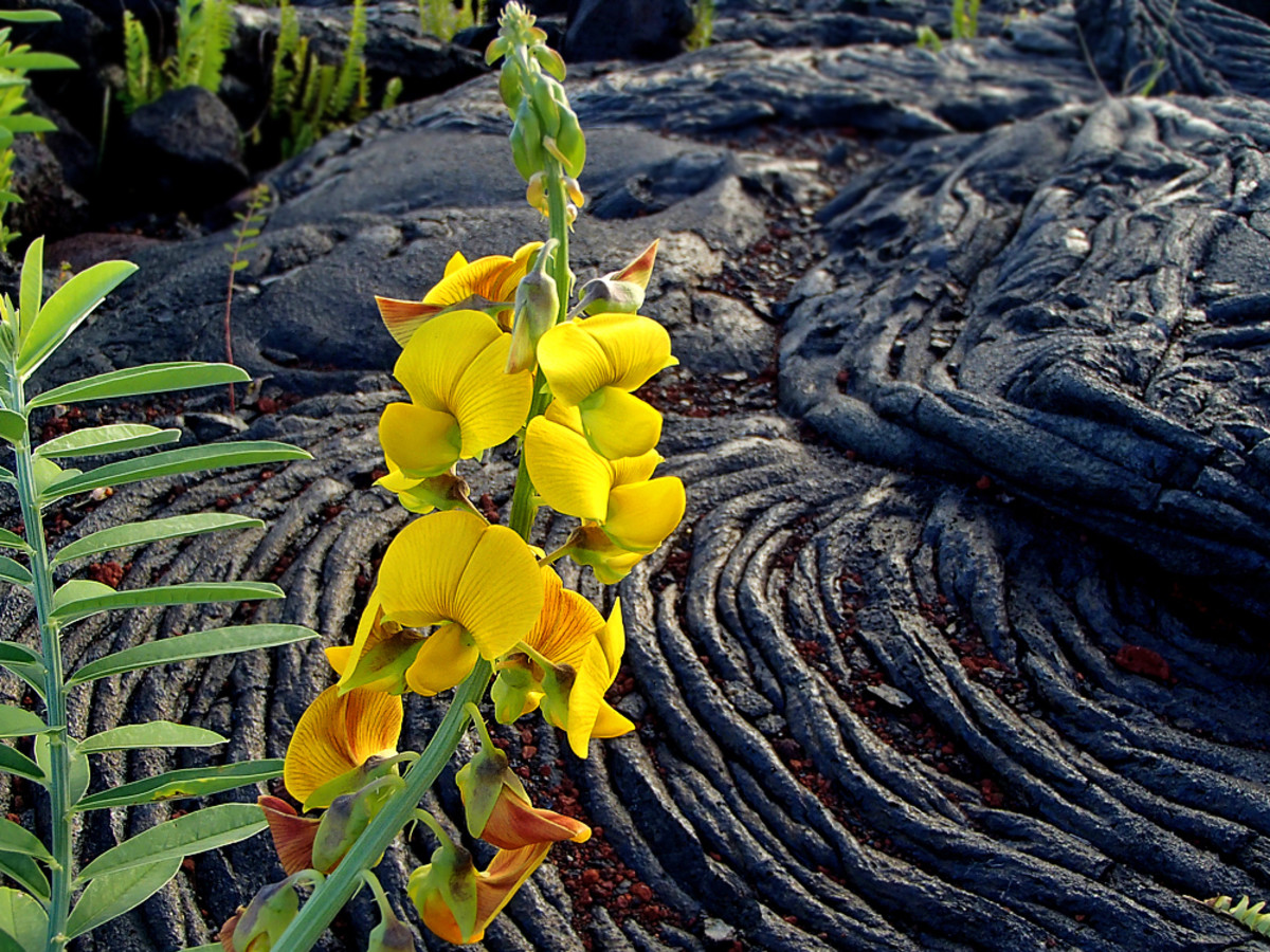 Wildflower thrives on old lava flow.