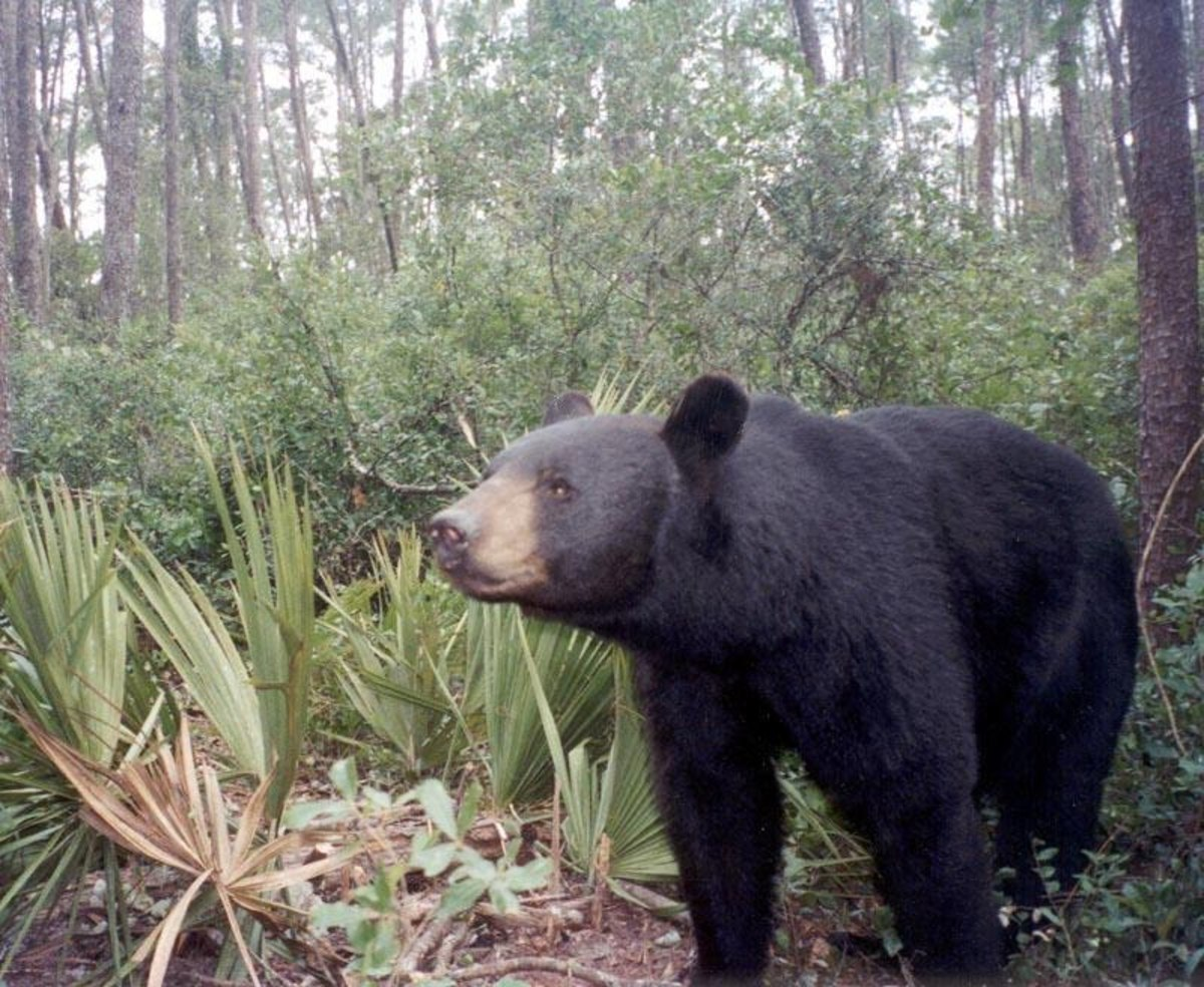 A Florida black bear in Ocala National Forest.  It is illegal to injure or kill these bears in Florida.  These bears are Florida's largest terrestrial mammal, with the average male weighing in at around 300 pounds.