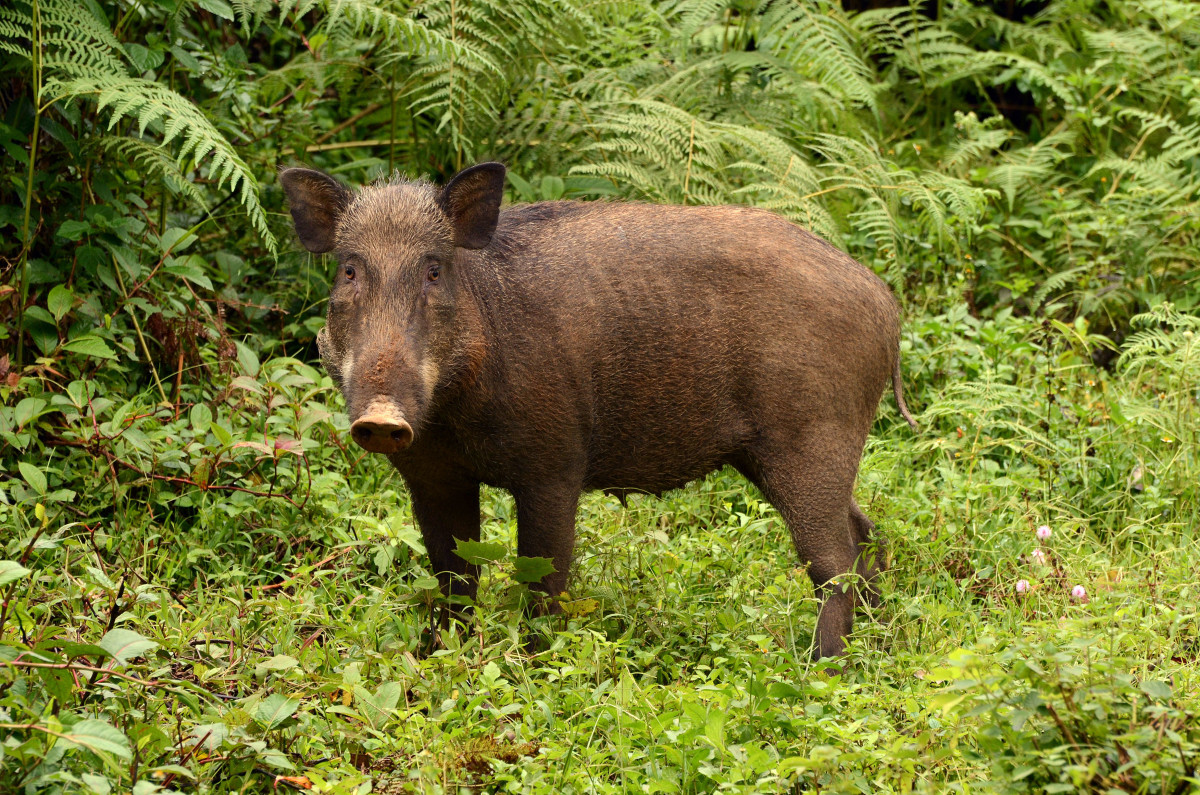 An ancestor of the domestic pig, wild boars can be found throughout Florida.  They are not indigenous, but arrived with the Spanish, some of which escaped into the wild.