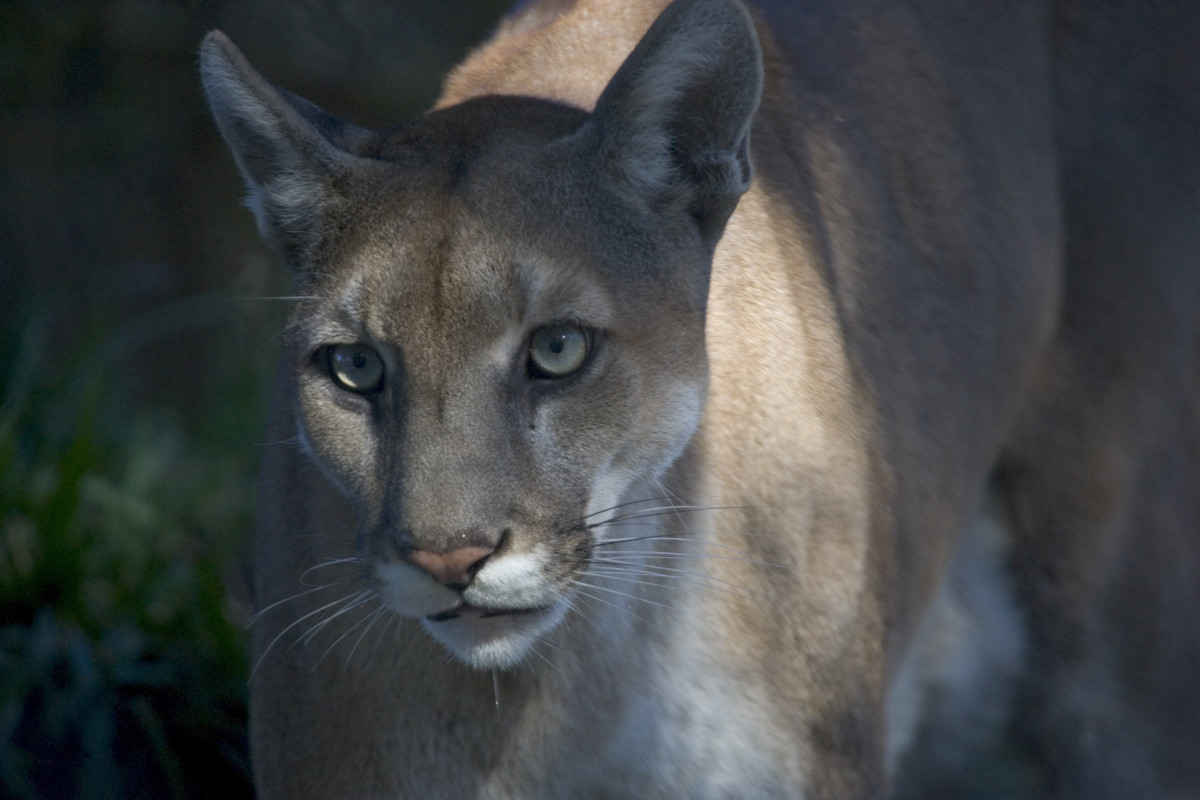 Florida panthers, though immensely powerful, are generally uninterested in humans.