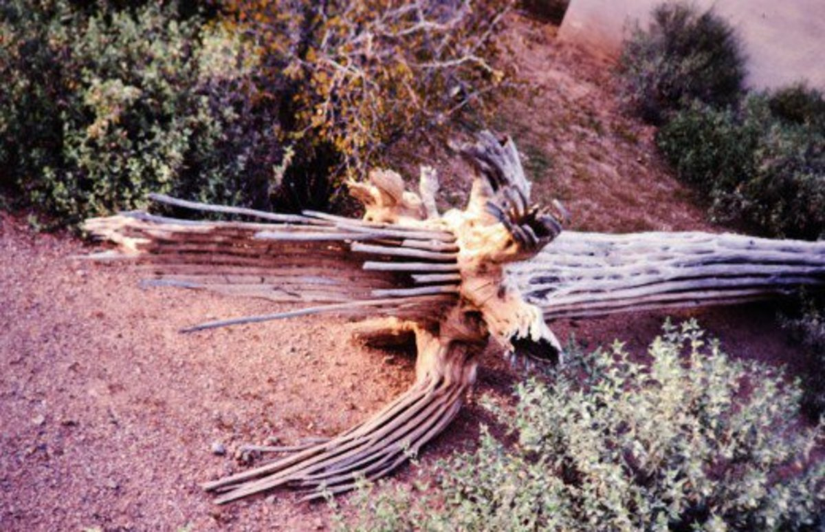 The spine of a dead saguaro cactus at the Desert Botanical Garden