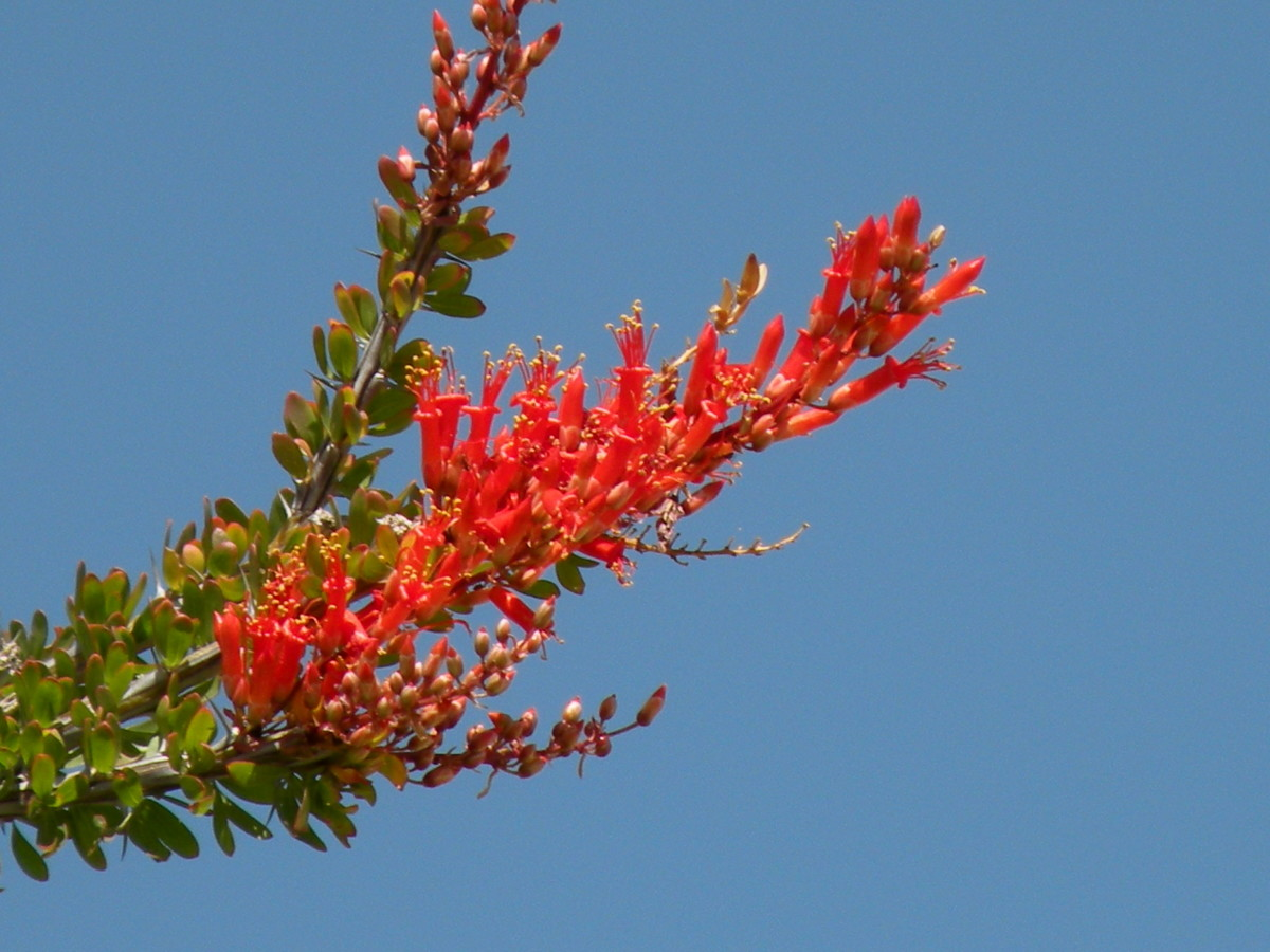 An Ocotillo Cactus will show its beautiful red blooms a week or two after a rain. Hummingbirds will soon be here to feed on them.