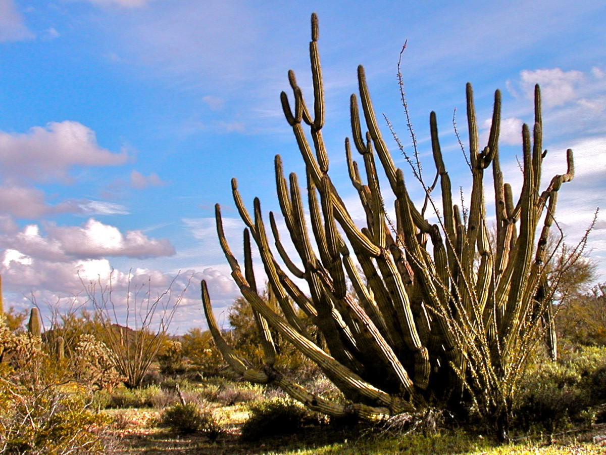 Organ pipe cactus is seldom seen outside of Organ Pipe National Monument in Arizona.