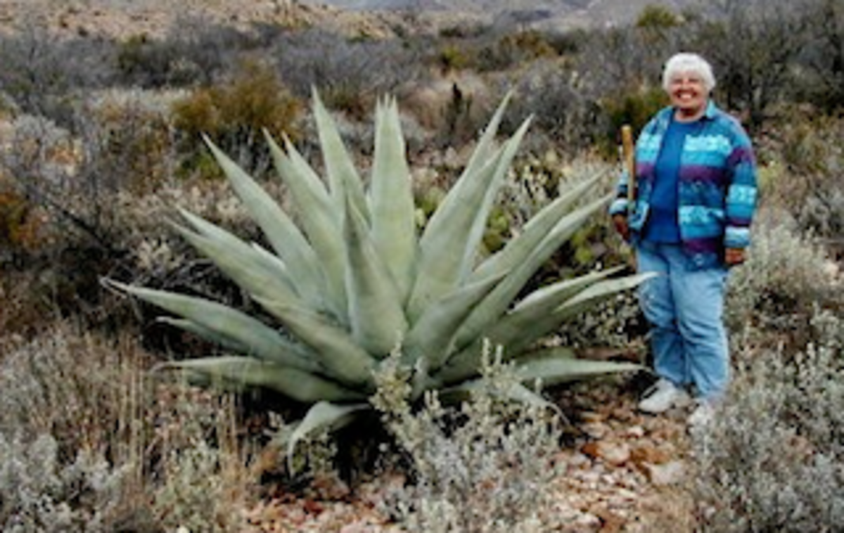 Standing next to an Agave at Big Bend, I felt shorter than my 5 feet.