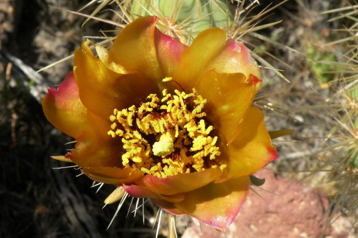 The flowers of the staghorn cactus were sometimes to hidden by branches of the cactus, but I found a few blooms by looking carefully.