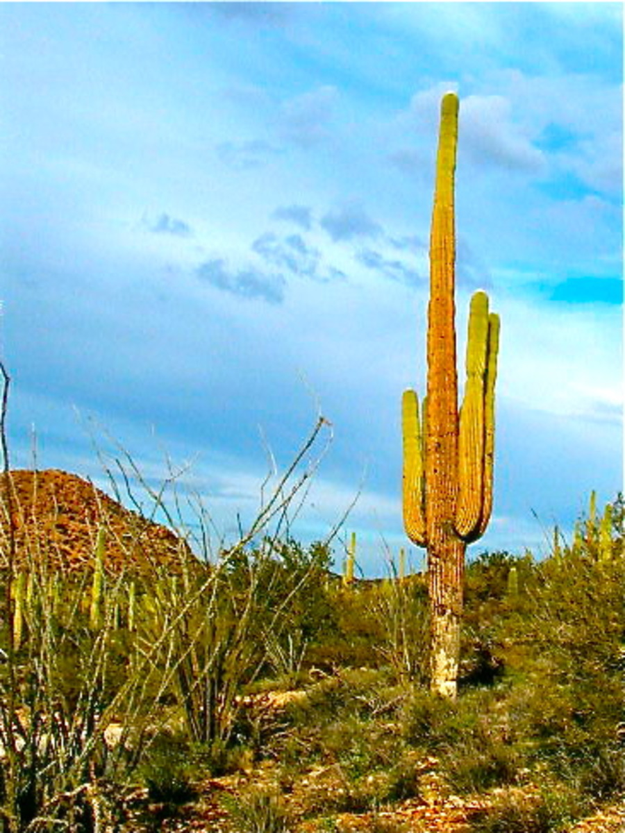 This Saguaro cactus in the Sonora Desert of Arizona is probably well over 100 years old.