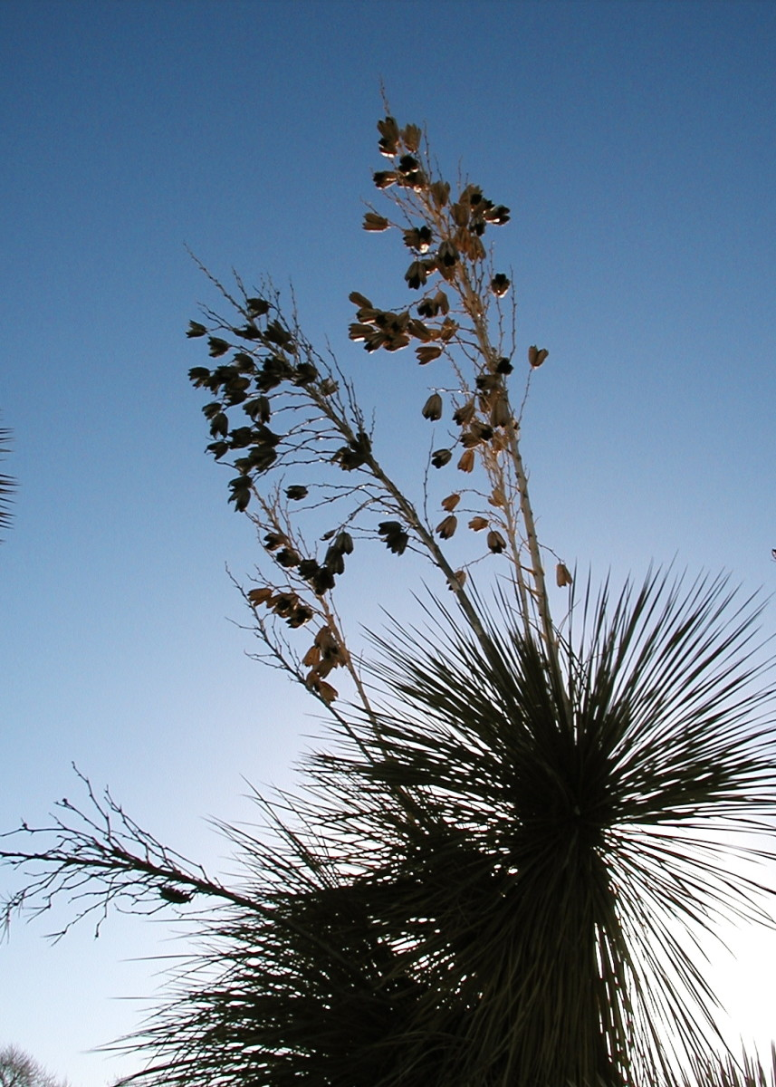 Yucca seed pods are silhouetted against the sun as they shoot high into the air on older plants.