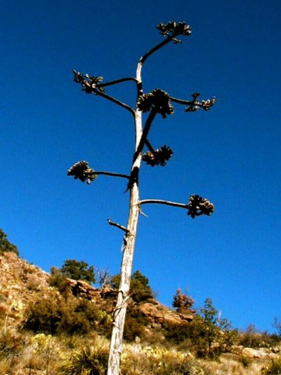 Agave seed pods shoot high above the plant.