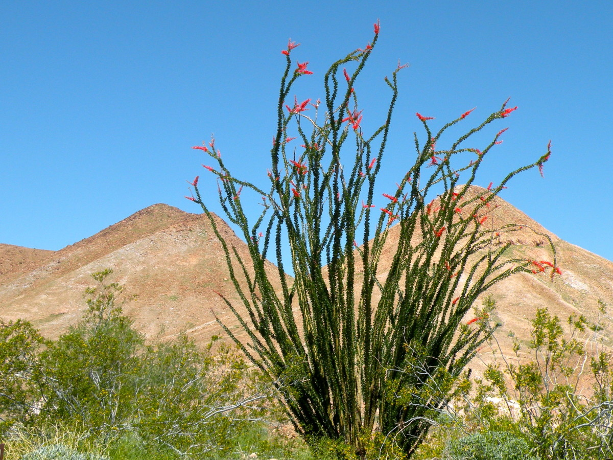 The Ocotillo sprouts leaves on its gray branches four or five days after rain and will bloom a few weeks later with feathery red blossoms that hummingbirds love.