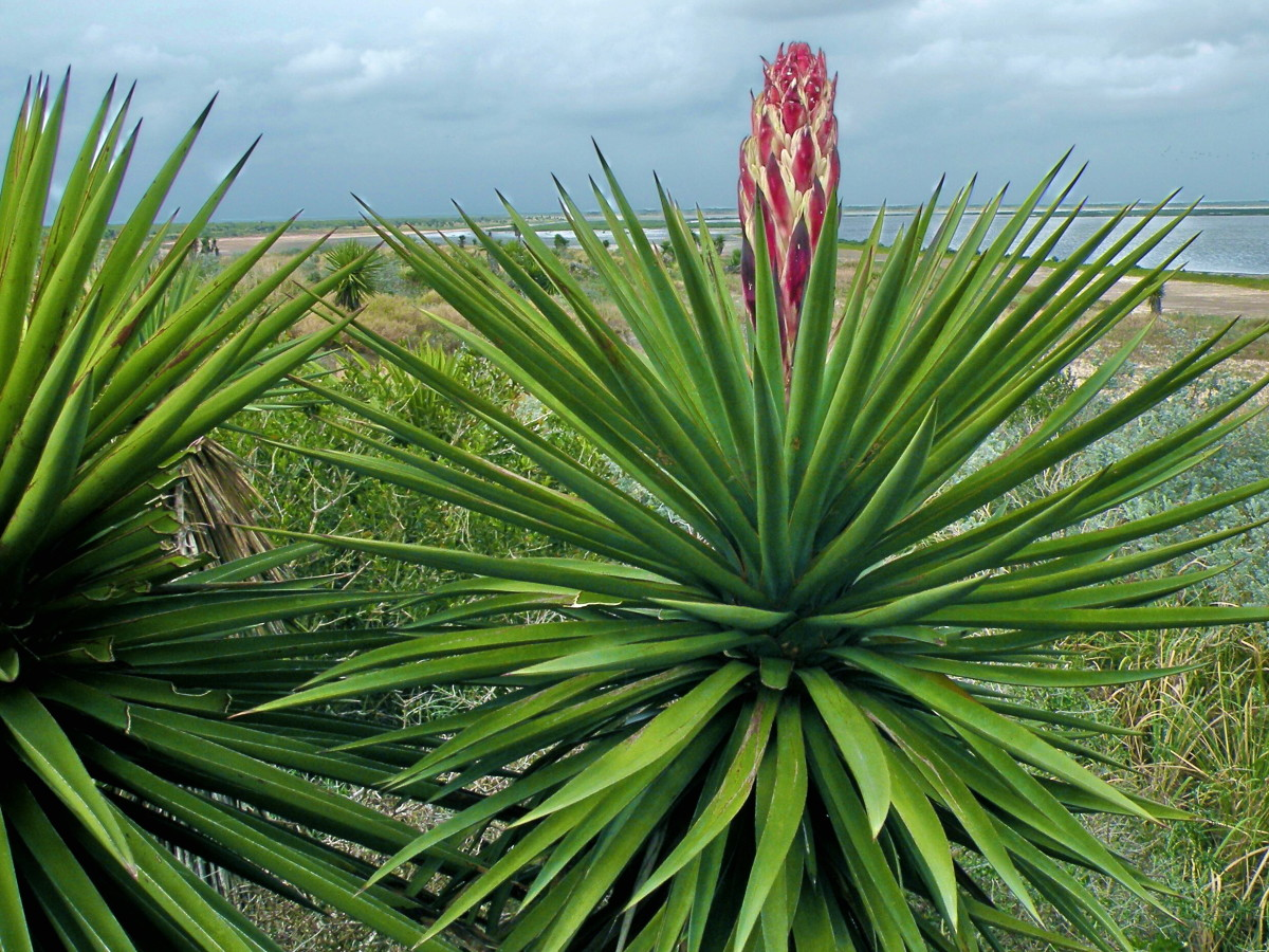 A Yucca in bud at the Laguna Atascosa National Wildlife Refuge in South Texas.