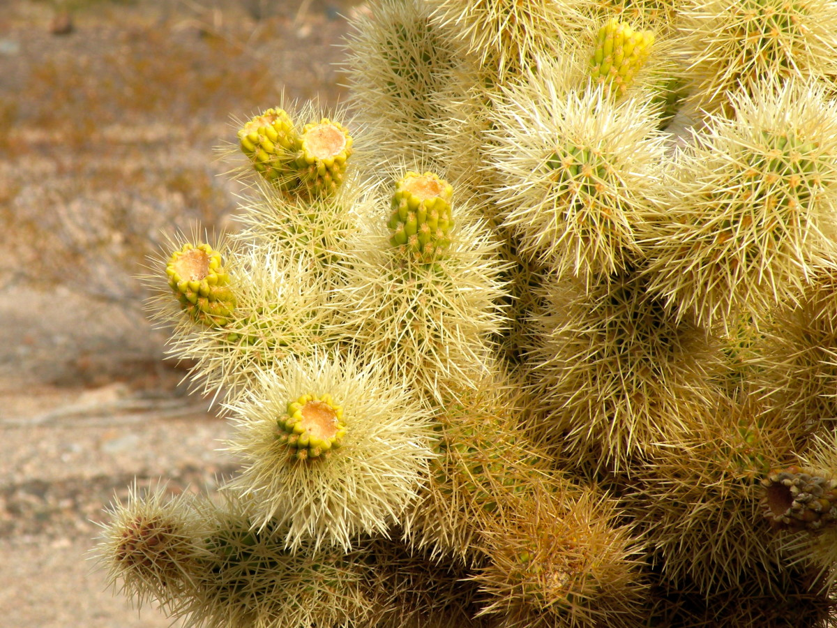 Teddy bear cholla in bud.