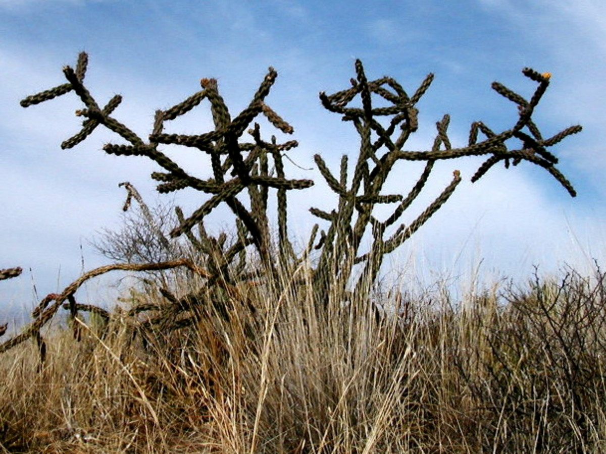 Staghorn cactus.