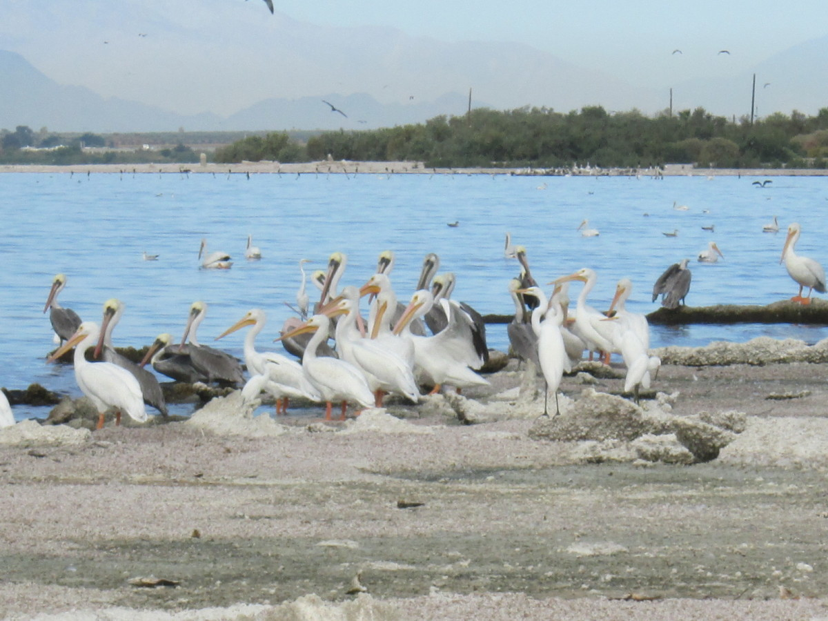 Pelicans at the Salton Sea, California.