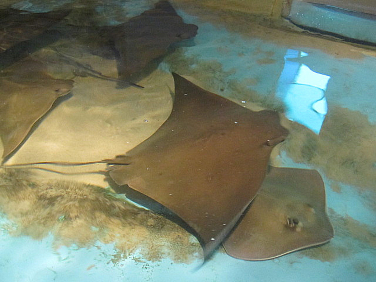 The Stingray Pool, Clearwater Marine Aquarium