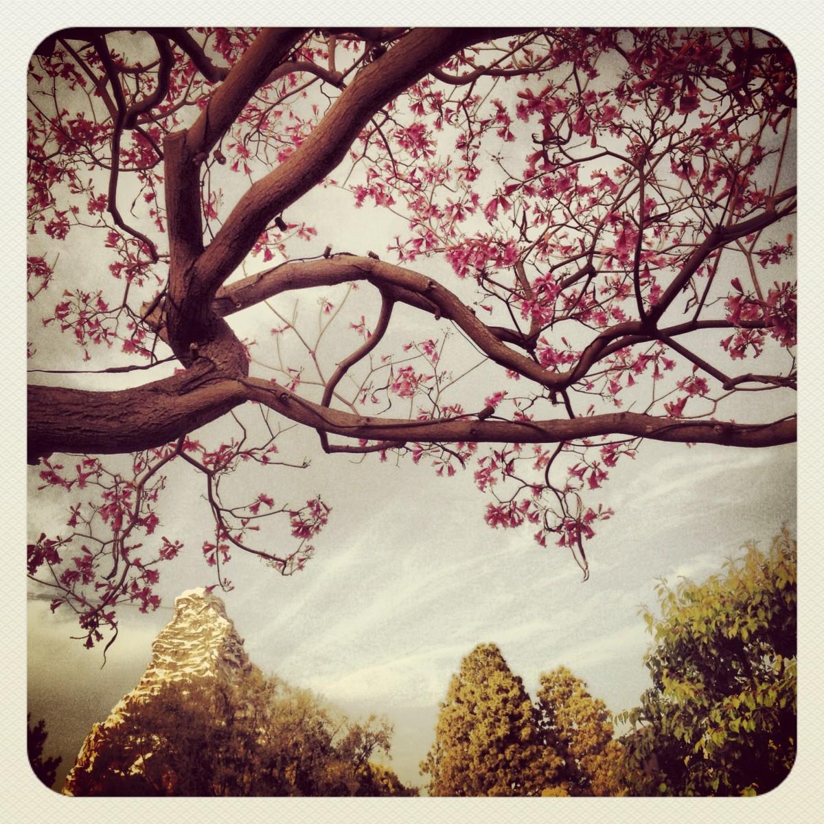 blossoms and matterhorn