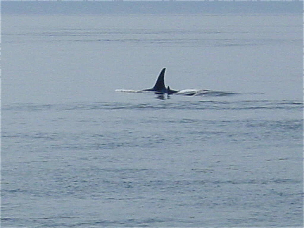 Orca from Lime Kiln State Park