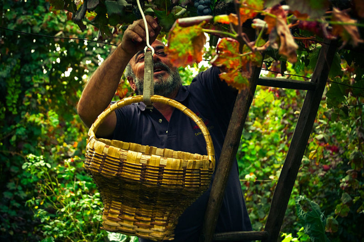Harvesting wine grapes
