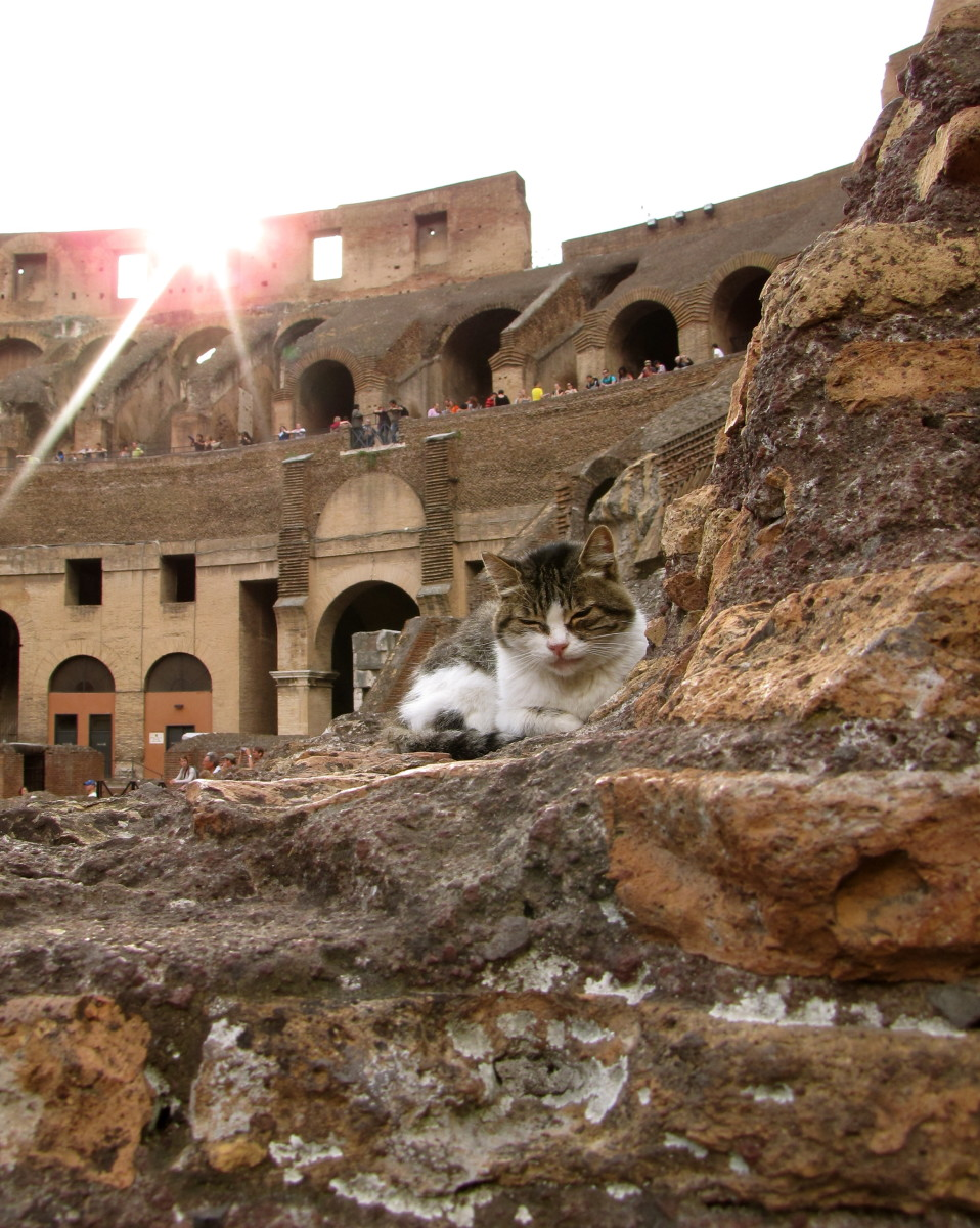 Resident cat in the Colosseum