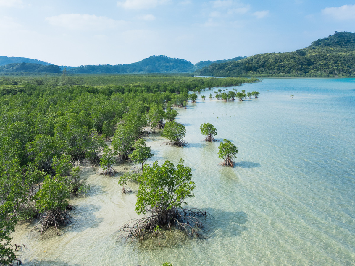 Mangrove forest along the Urauchi River on Iriomote Island, Japan
