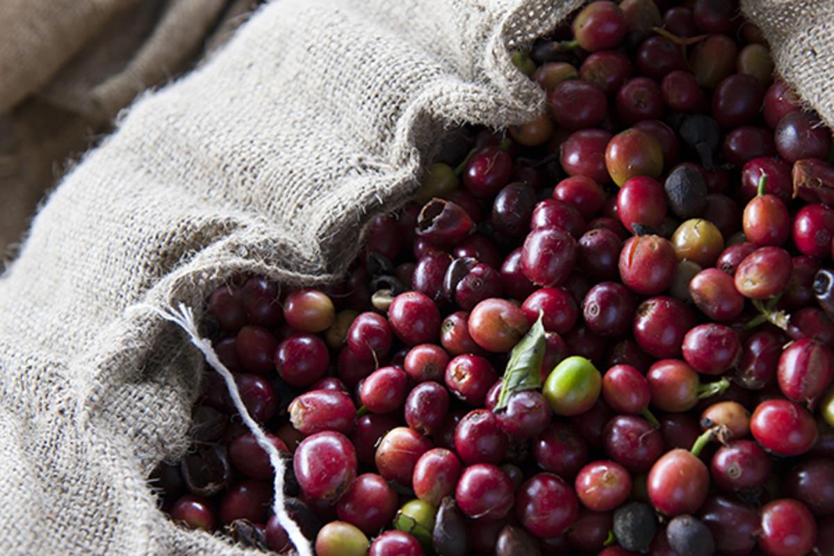 Kona Coffee beans freshly picked