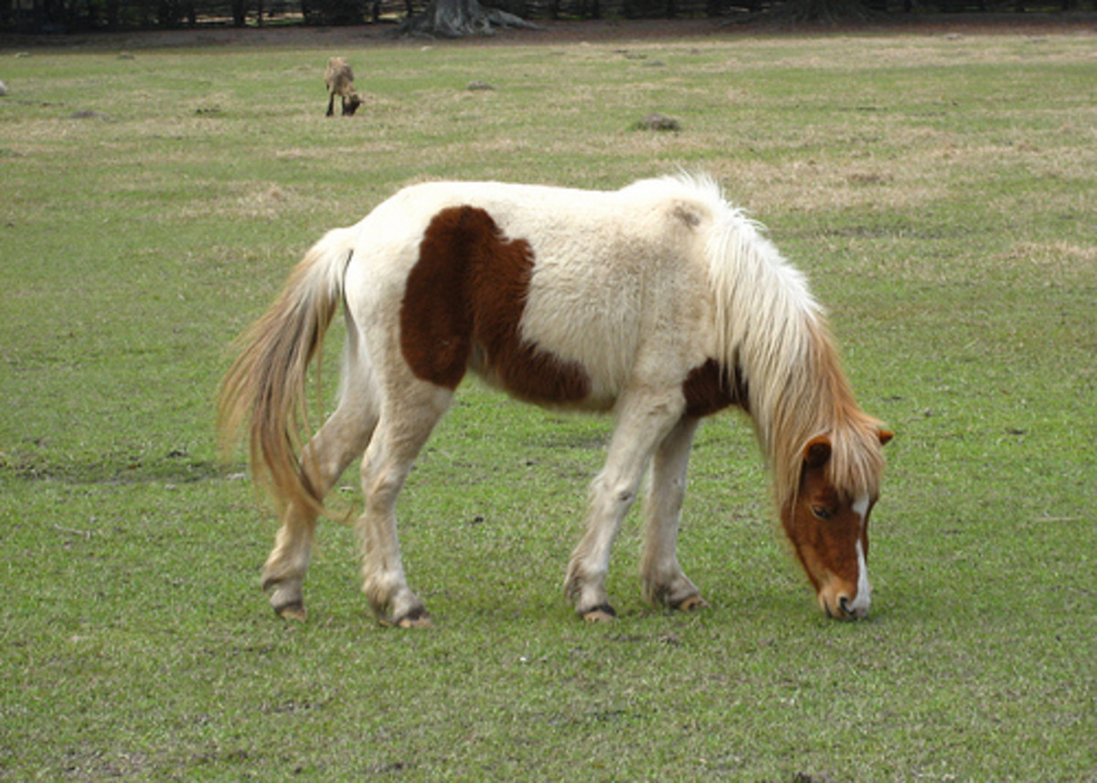 Miniature Horses at Magnolia