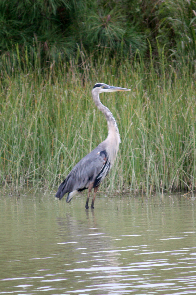 A blue heron—one of many types of bird you may see on the Nature Tram.
