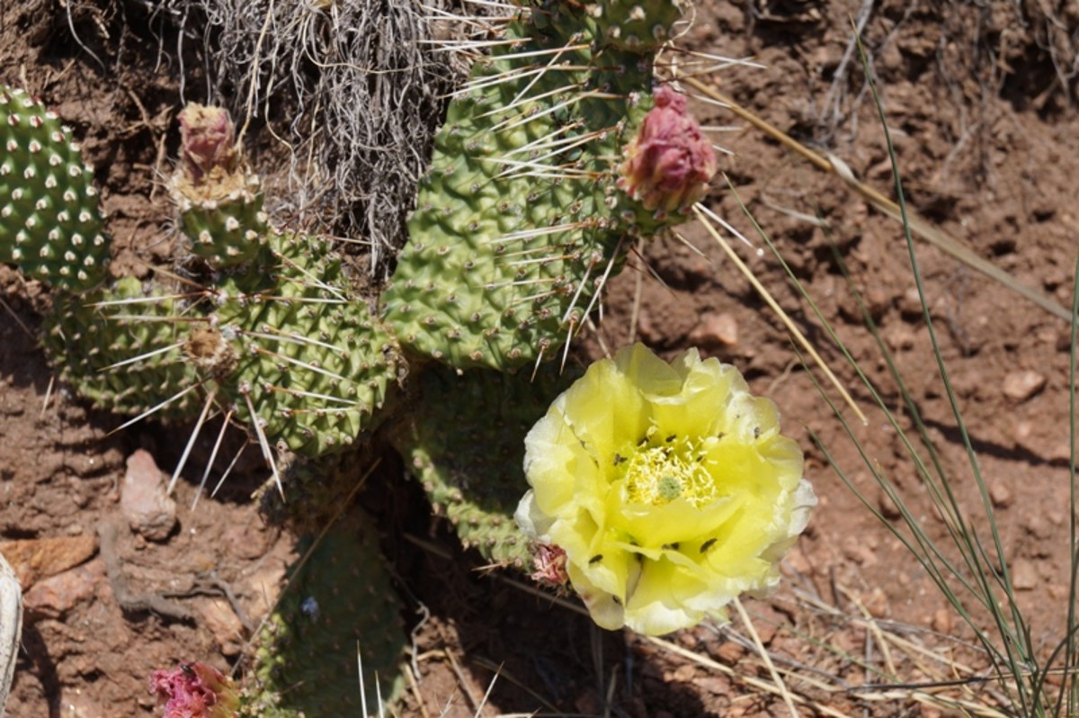Prickly pear cactus with a blooming flower.  A couple other flowers are getting ready to bloom.