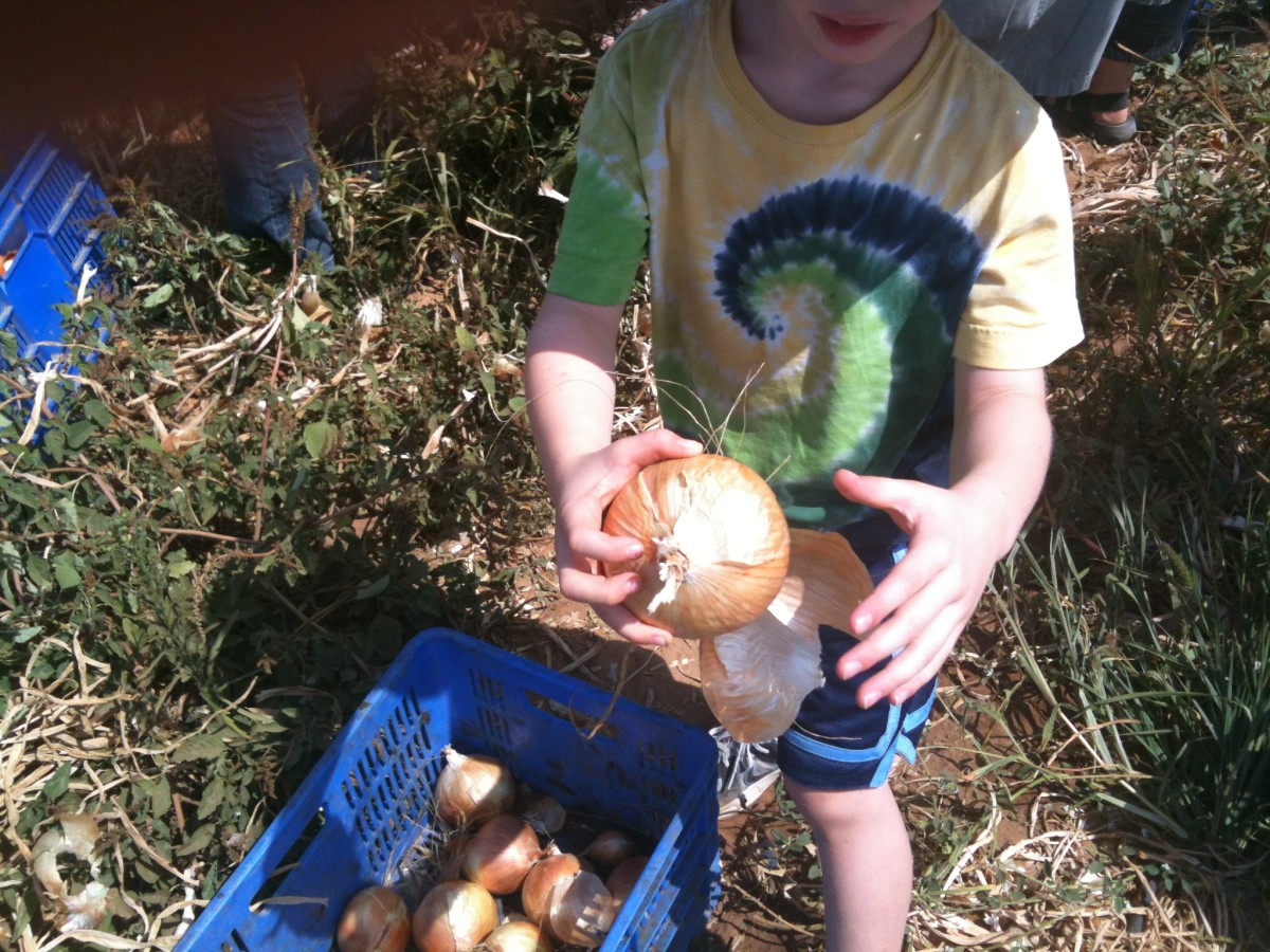 Gleaning onion fields with Project Leket