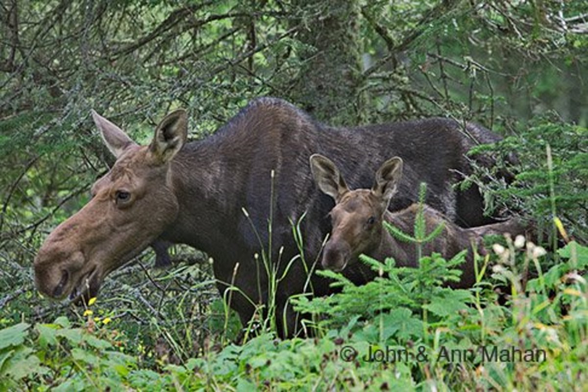Moose with calf on Isle Royale