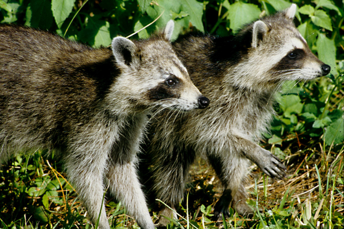 Two raccoons venture out of the scrub on Honeymoon Island. To some Americans these are considered pests - to a foreign tourist, they are delightfully exotic