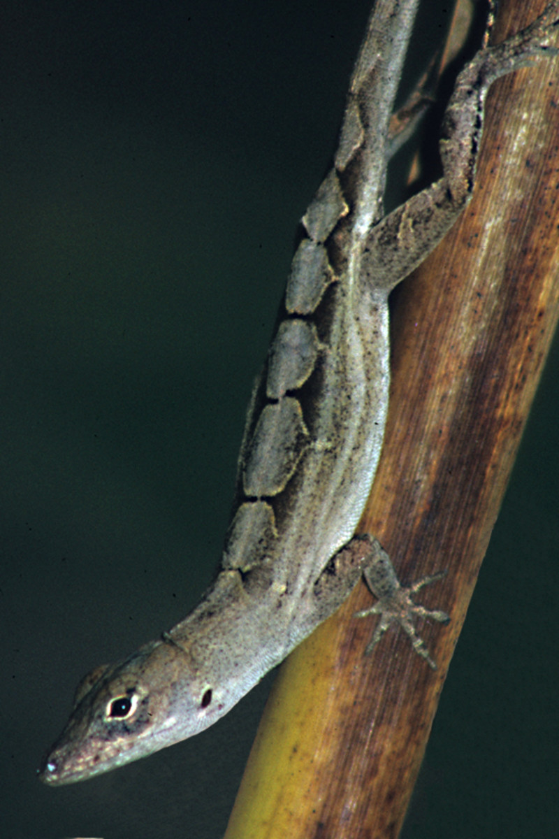 An Anole lizard in a garden in Port Richey. Anoles are quite easy to find, but not quite so easy to photograph