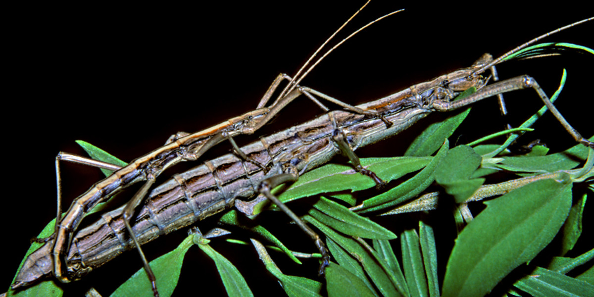 Anisomorpha buprestoides, the two-striped stick insect (walking stick). I keep stick insects as a hobby, so it was a delight to find this species in Port Richey.