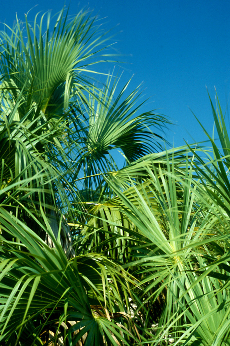 Palm fronds on Caladesi Island. Green vegetation attracts wildlife. And green vegetation in the hot subtropics attracts the most wildlife of all