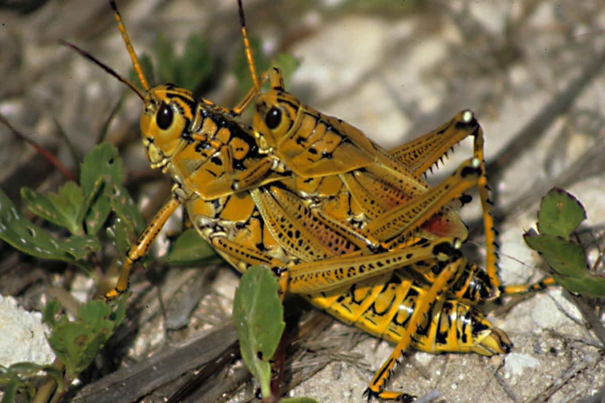 Southeastern Lubber Grasshoppers - beautiful residents of Florida
