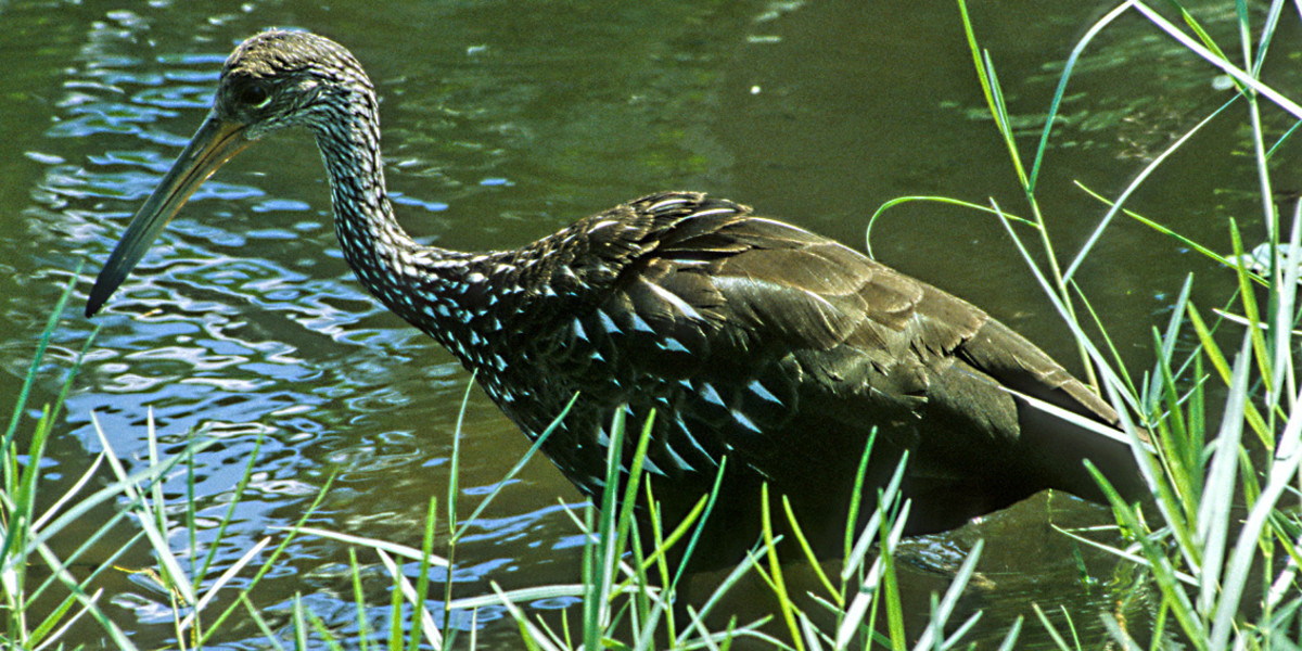 The Limpkin is a large wading bird which specialises in feeding on large apple snails. This one was actually seen and photographed during a visit to Cypress Gardens - one of the many theme parks near the City of Orlando