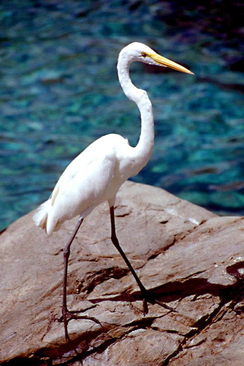 Even in Orlando's renouned theme parks, there is wildlife to be seen. This egret was making use of the water attractions in SeaWorld