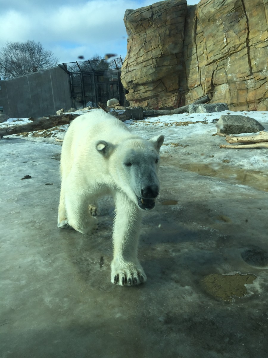 Polar Bear in Winter at Henry Vilas Zoo