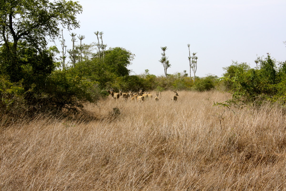 We spotted the Giant Sable Antelope - a national symbol of Angola, even depicted on the airline's logo and mula!  The herd ran away after we spotted each other but then they stopped and turned back to take a look at us and we snapped pictures of them